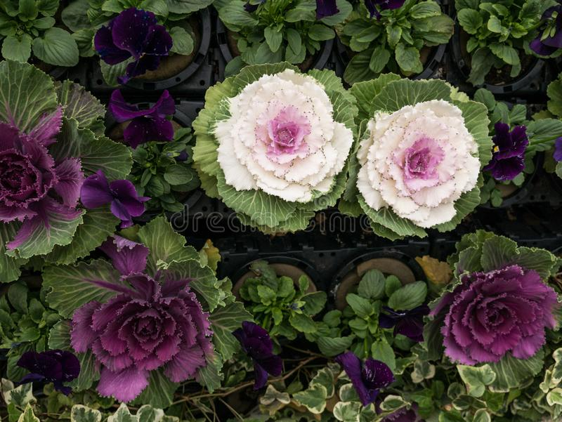 Gula lila- och gräsplansidor av LongLiveed Cabbag arkivfoto