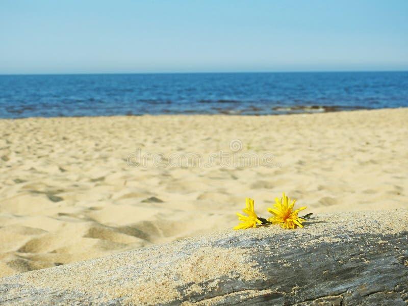 Gula lilla blommor fotografering för bildbyråer