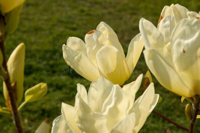Gula magnoliablommor arkivbilder