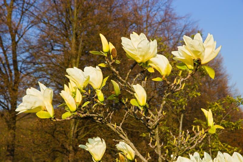 Gula magnoliablommor royaltyfri bild