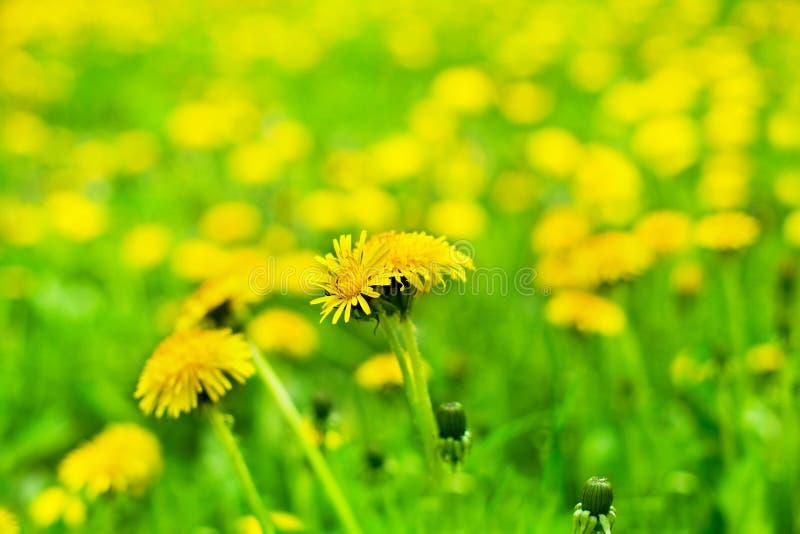 Gula maskrosor i blomslut upp på suddig grön fältbakgrund, blowballs blomstrar blommor på vårgräsmatta, härlig sommar arkivbild