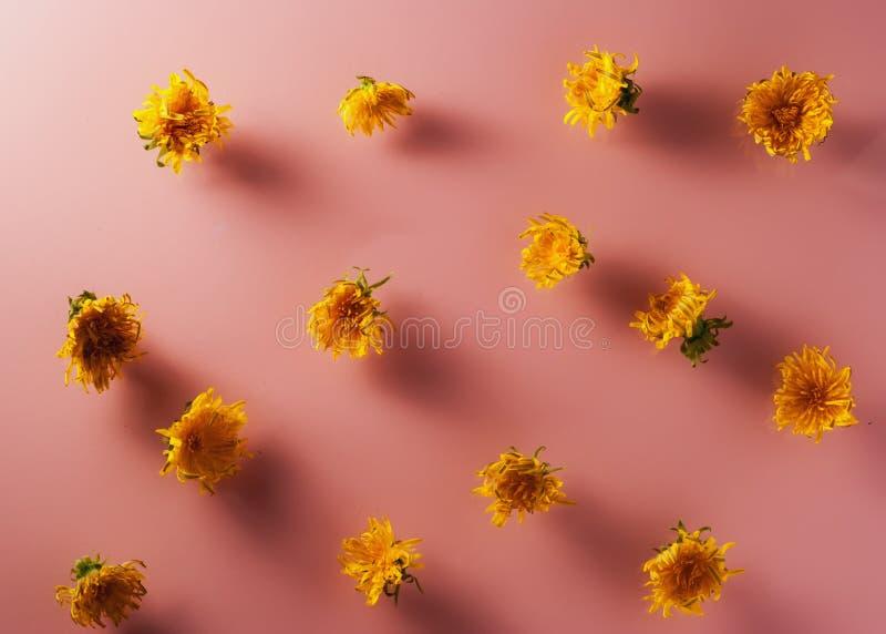 Gula maskrosor på en rosa bakgrund arkivfoto