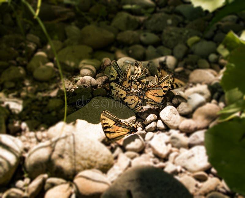 Gula monarkfjärilar som matar nära liten viksäng royaltyfria foton