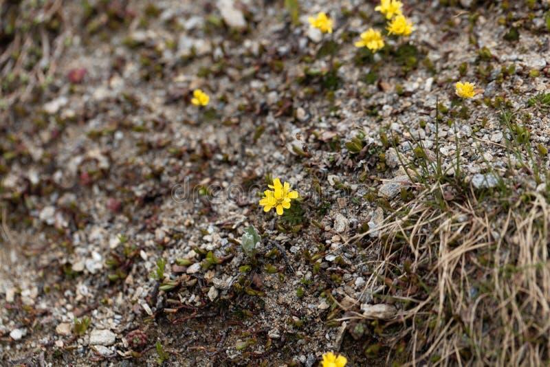 Gula nagelböld-gräs växtDraba aizoides royaltyfria foton