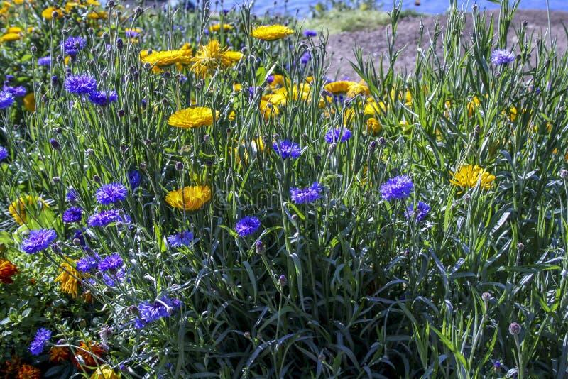 Gula och blåa höstblommor på en bakgrund av grönt gräs Selektivt fokusera royaltyfria foton