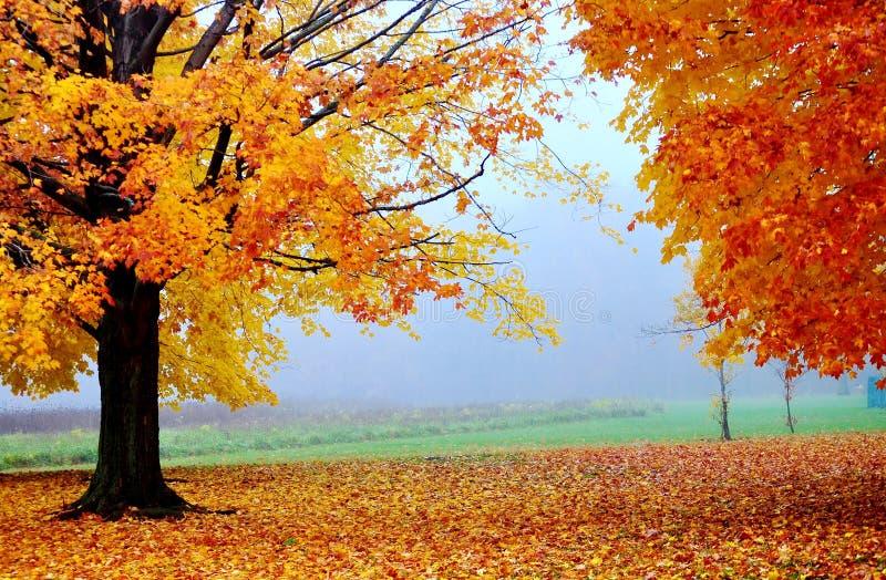 Gula och orange höstträd i en dimmig morgon royaltyfri foto