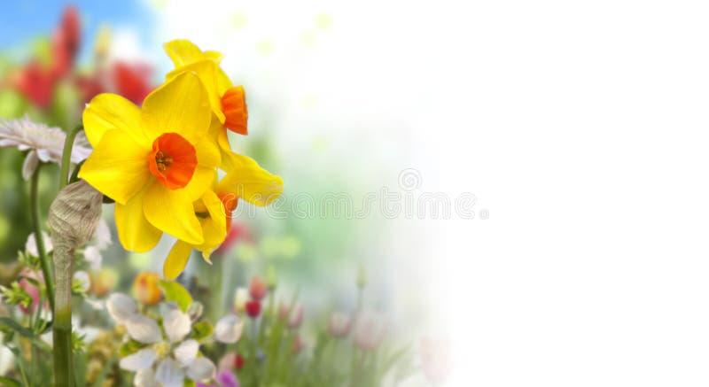 Gula och orange påskliljor och defocused kulöra blommor i vårträdgård med vit bakgrund på rätten royaltyfria bilder