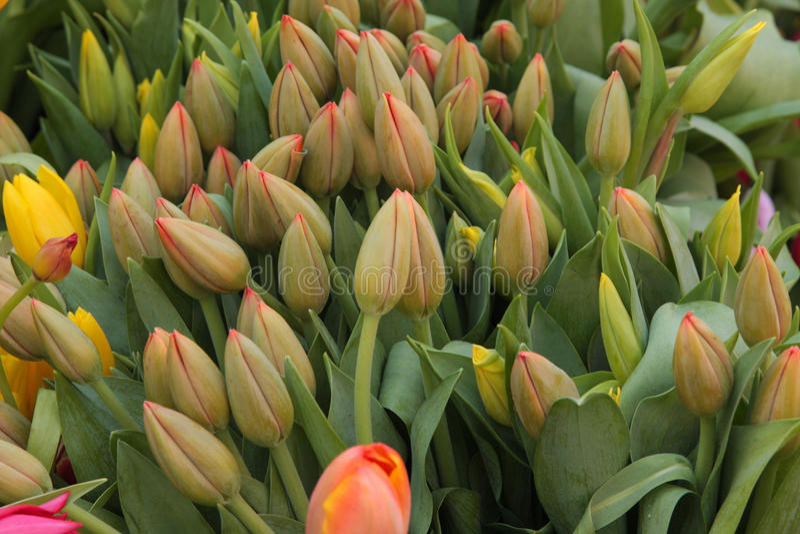 Gula och orange tulpan för blom, på skärm på bönderna marknadsför arkivbilder