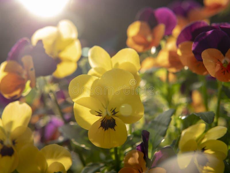 Gula och purpurfärgade blommor på solnedgång fotografering för bildbyråer
