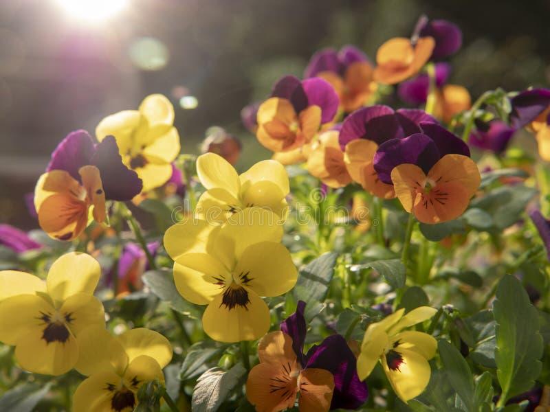 Gula och purpurf?rgade blommor p? solnedg?ng arkivbilder