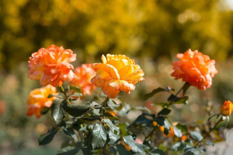 Gula och rosa buskerosor på blomsterrabatten i trädgården arkivbilder