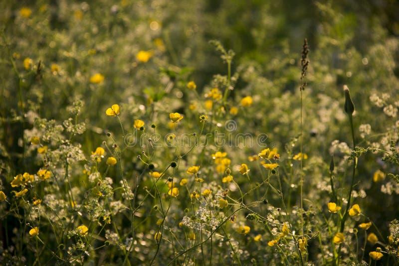 Gula och vita blommor i den glödande solnedgången royaltyfri foto