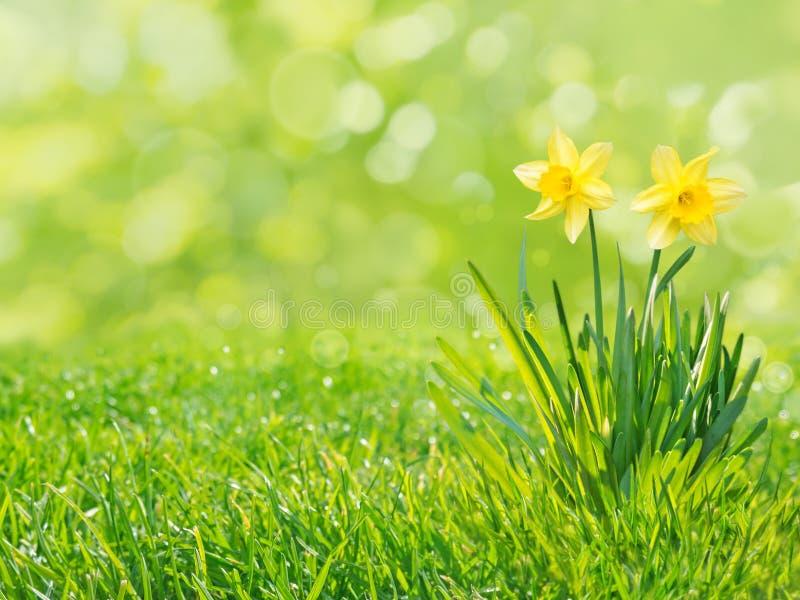 Gula påskliljablommor som isoleras på för gräsmattavår för grönt gräs bakgrunden fotografering för bildbyråer