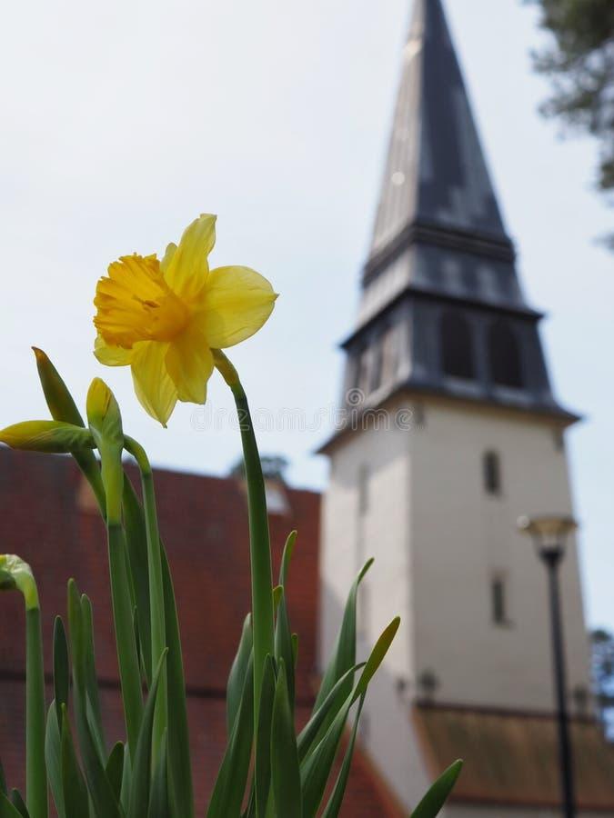 Gula påskliljor för påsk framme av en kyrka royaltyfri bild