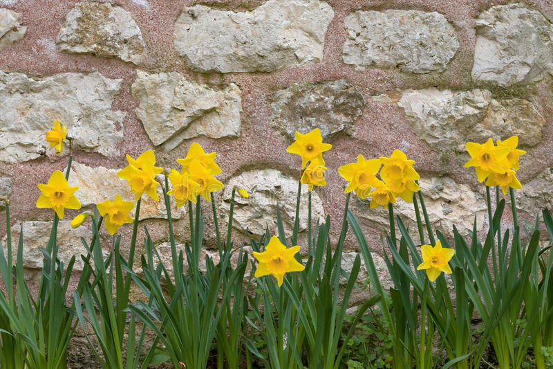 Gula påskliljor från våren arkivfoto