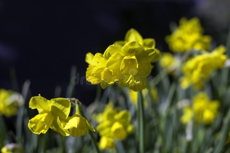Gula påskliljor i en botanisk trädgård fotografering för bildbyråer