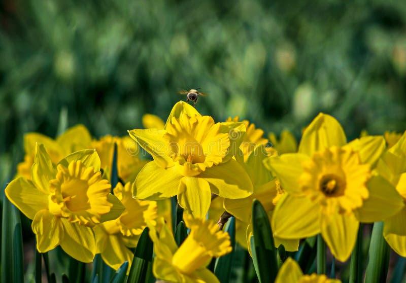 Gula påskliljor på blomsterrabatten i parkera arkivbild