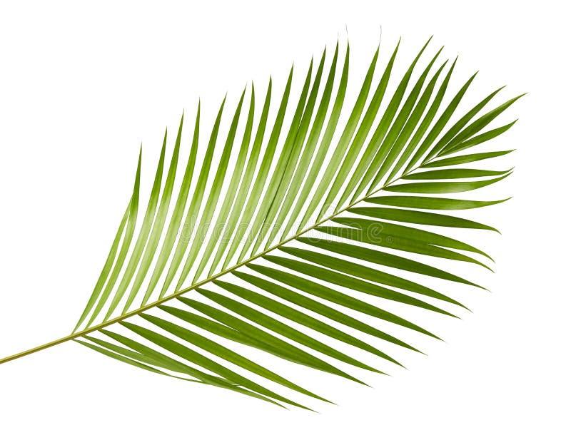 Gula palmbladDypsis lutescens eller den guld- rottingen gömma i handflatan, Arecapalmblad, tropisk lövverk som isoleras på vit ba royaltyfri foto