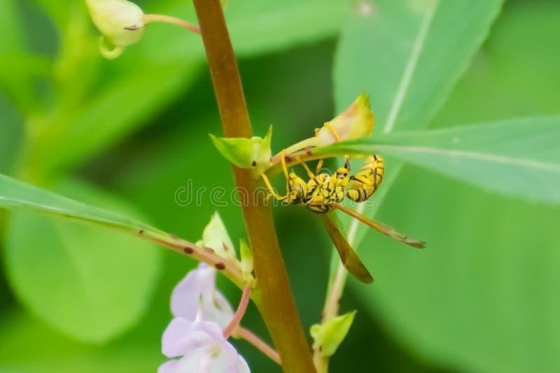 Gula pappers- Wasp på den trädgårds- balsamväxten royaltyfria bilder