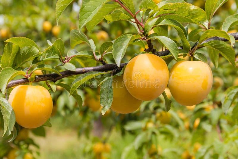 Gula plommoner som mognar på träd i plommonfruktträdgård arkivfoto