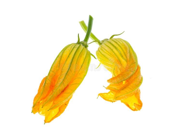 Gula pumpa- och zucchiniblommor som isoleras på vit bakgrund arkivfoton
