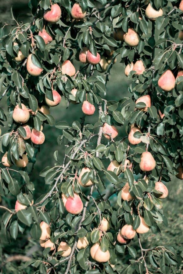 Gula röda päron på trädet arkivfoto