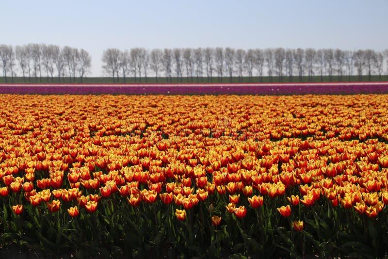 gula röda tulpan i rader i ett långt blommafält i den Oude-Tonge nollan arkivfoton