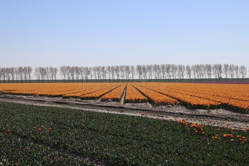 gula röda tulpan i rader i ett långt blommafält i den Oude-Tonge nollan royaltyfria bilder
