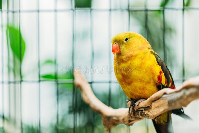 Gula Regent Parrot Or Rock Pebbler i zoo Fåglar kan utbildas royaltyfria bilder
