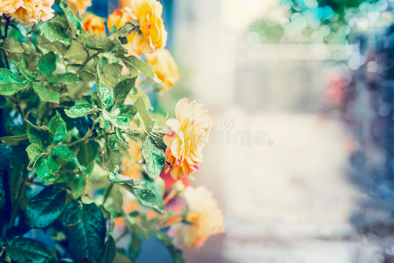Gula rosor med vattendroppar efter regnet på sommarlandskapbakgrund i trädgård eller parkerar med bokeh royaltyfri fotografi