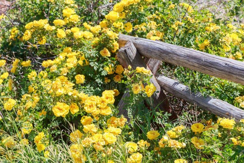 Gula rosor som klättrar på trästångstaketet royaltyfri fotografi