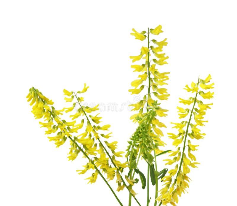 Gula söta växt av släkten TrifoliumSprigs arkivfoton