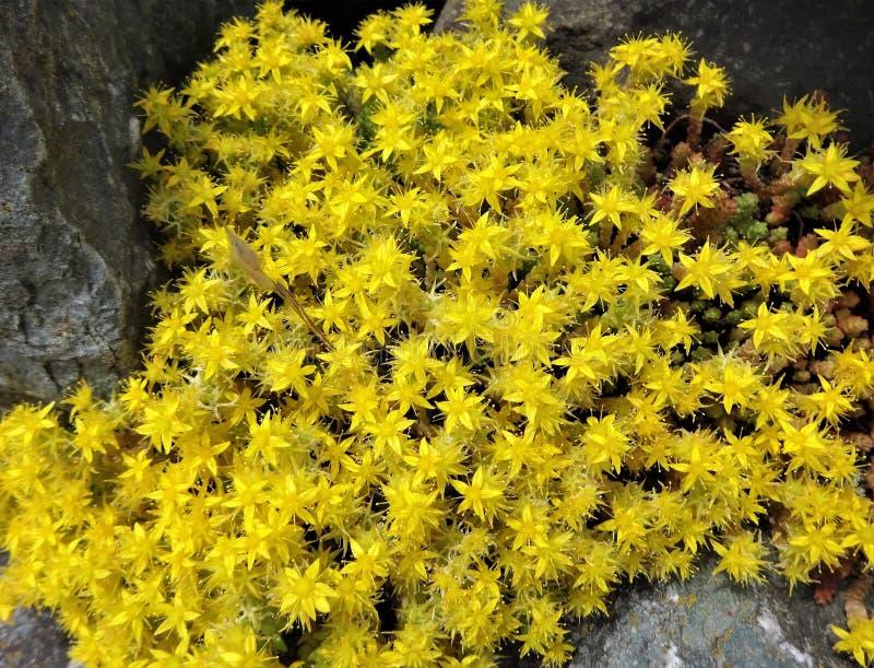 Gula sedumtunnlandblommor blommar på en stenig kust royaltyfri foto