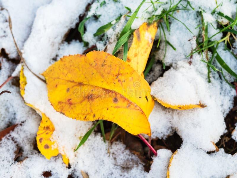 Gula sidor stänger sig upp i snöig gräs i höst royaltyfria foton
