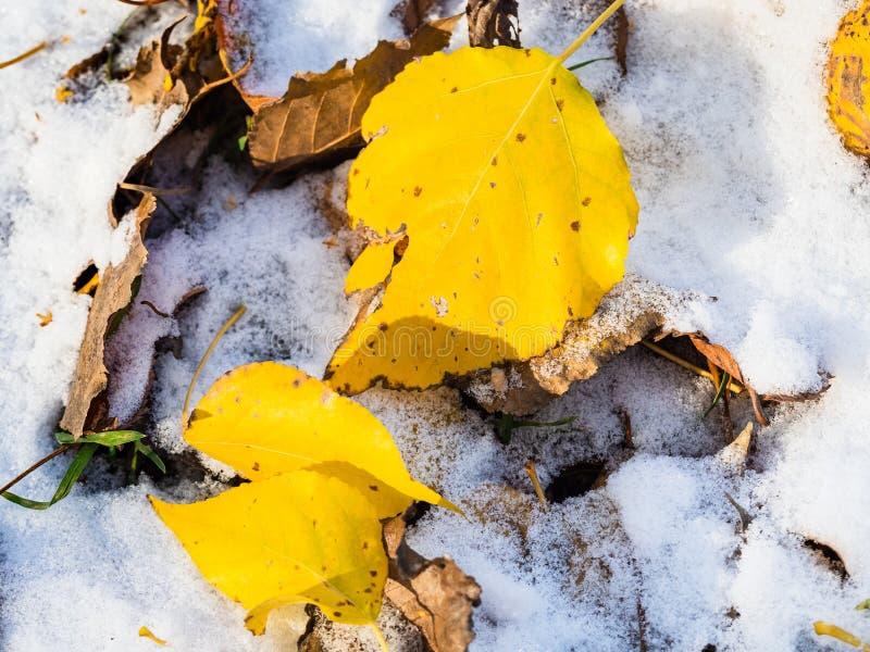Gula sidor stänger sig upp på gräsmatta som täckas med snö royaltyfri fotografi