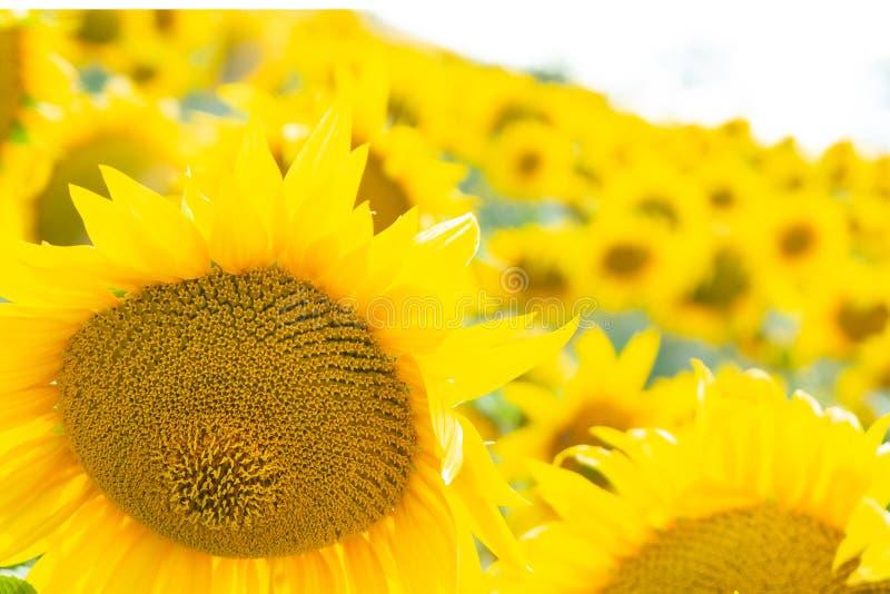 Gula solrosor i fältet arkivbilder