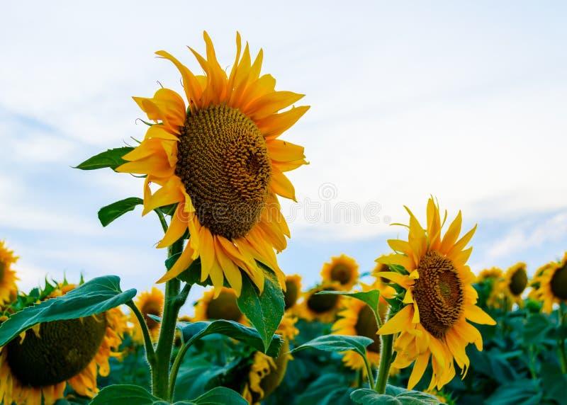 Gula solrosor mot den blåa himlen royaltyfria foton