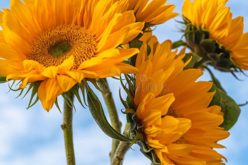 Gula solrosor mot härlig molnig blå himmel royaltyfria bilder