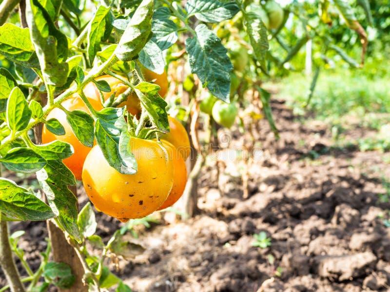 gula tomater på buskenärbild i kökträdgård royaltyfria foton