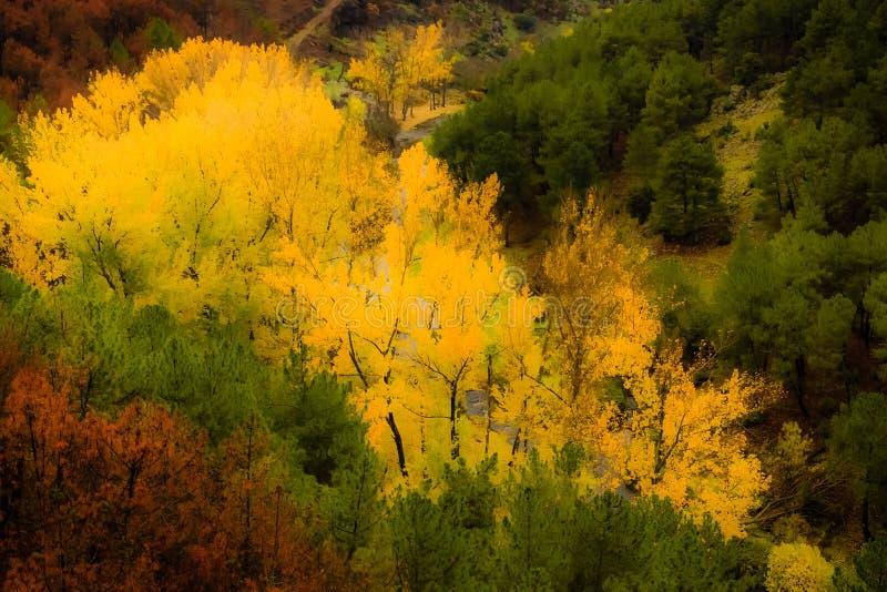 Gula träd på ett höstlandskap arkivfoton