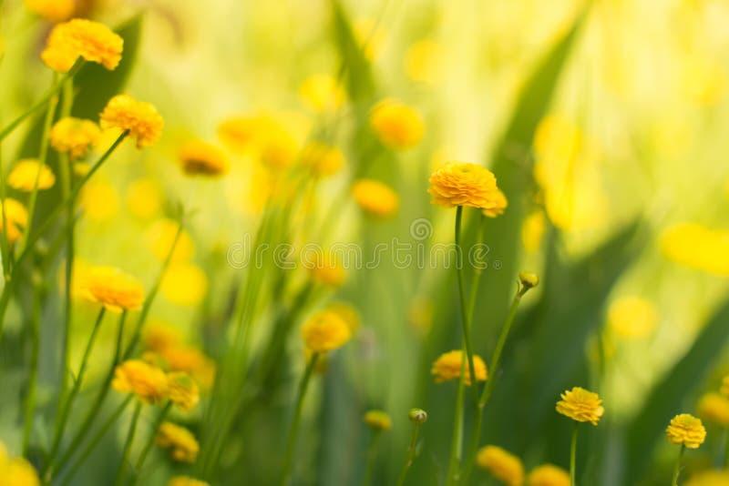 Gula trädgårds- smörblommor ljus blommayellow royaltyfria bilder