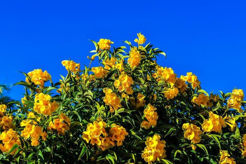 Gula tropiska blommor, gröna sidor, bakgrund för blå himmel arkivbild