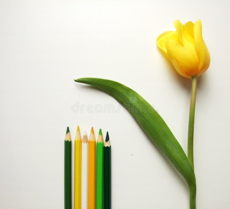Gula tulpan och blyertspennor royaltyfria bilder
