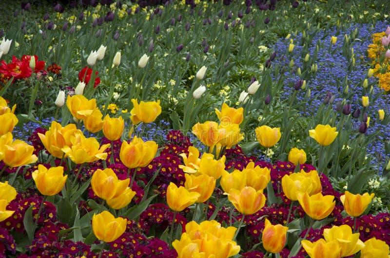 Download Gula Tulpan- Och Lilablommor Arkivfoto - Bild av lopp, växa: 106829744