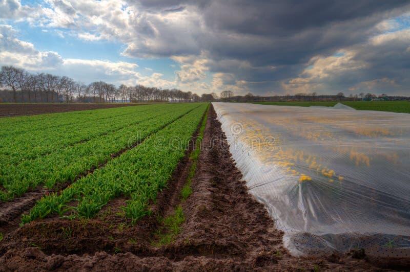 Gula tulpan under plast- folie fotografering för bildbyråer