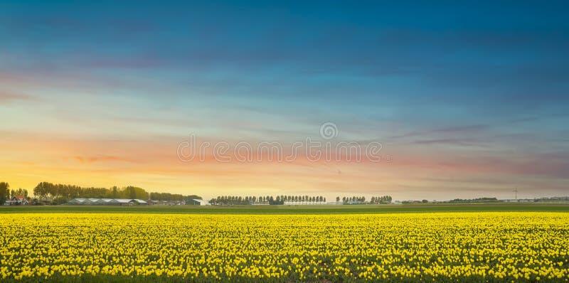 Gula tulpaner i blomning, blommor på våren vid solnedgången Nederländerna arkivfoto