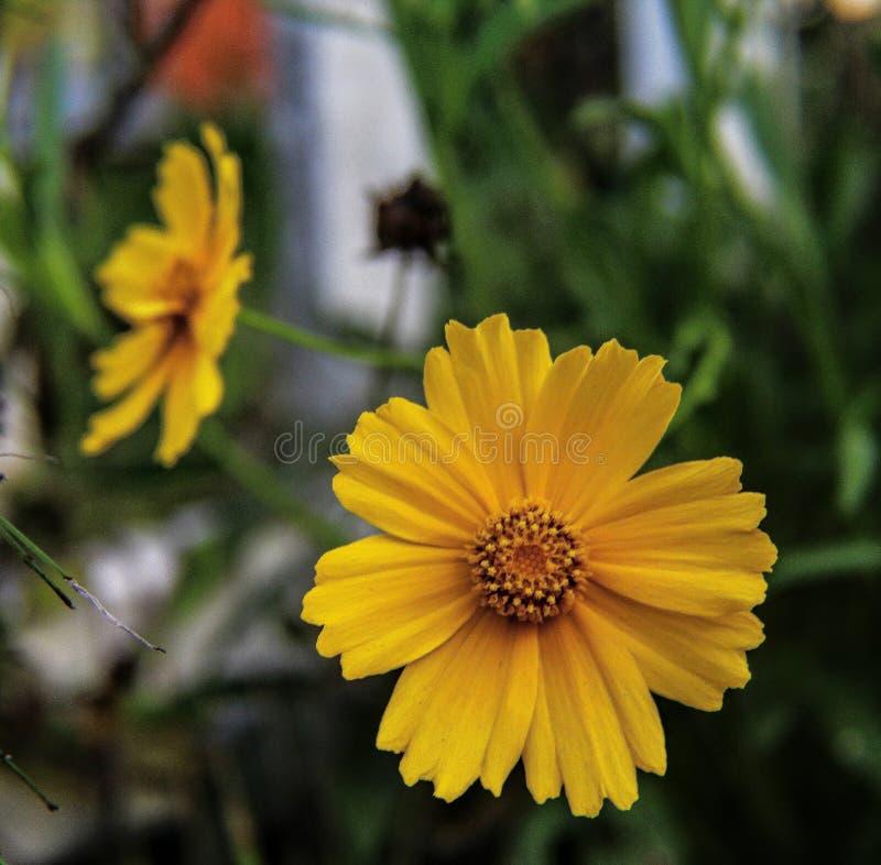 Gula växter för natur för tusenskönablommanärbild royaltyfri foto