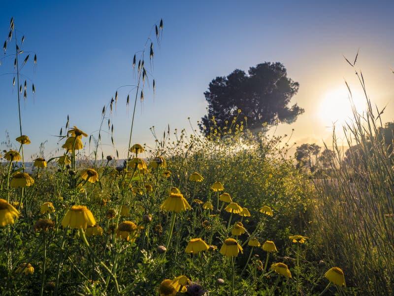 Gula vildblommor, gräs och träd på solnedgångbakgrund royaltyfri bild
