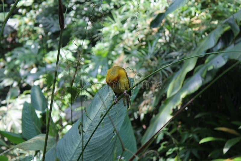 Gula Weaver Bird Sett och skottet på självdrevsafari turnerar till och med nationalparker i Singapore, asia arkivfoto
