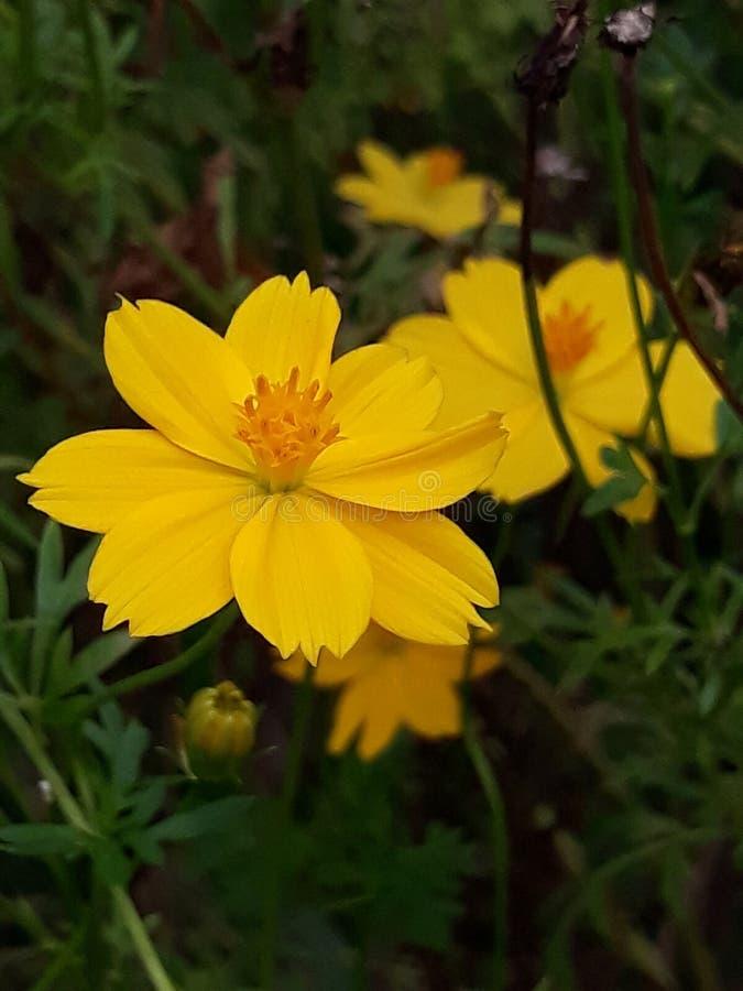 Gulaktig blomma royaltyfria bilder
